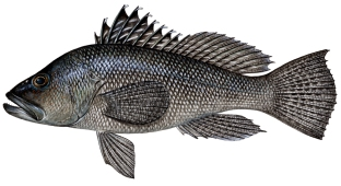 drawing-sea-bass-pic